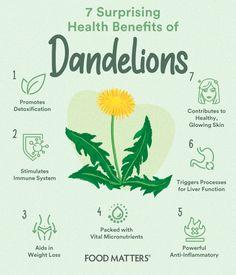 Holistic Medicine, Holistic Healing, Natural Medicine, Herbal Medicine, Natural Healing, Healing Herbs, Medicinal Herbs, Dandelion Health Benefits, Dandilion Tea Benefits