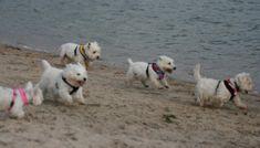 Westies love the beach