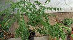 Tips on growing and pruning the Curry Tree. With these tips, you can grow a nice and bushy curry tree. We show you the right way to harvest your leaves and p. Curry Leaf Plant, Curry Leaves, Tall Plants, Indoor Plants, Fruit Trees, Trees To Plant, Tree Pruning, California Garden, How To Grow Taller