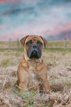 Bullmastiff dog  my obsession !  Not long to go and I'll have one of my own 💙💜💛