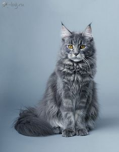 Maine coon hair type
