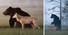 Unusual Friendship Between Wolf And Bear Documented By Finnish Photographer | Bored Panda