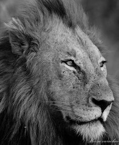 Search, book and pay for sub-Saharan African experiences in one place: Luxury accommodation, day tours, city & safaris programs and much Day Tours, Big Cats, South Africa, Safari, Lion, African, Travel, Animals, Instagram