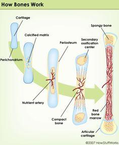 Bone growth illustration