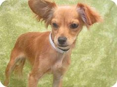 Gardena, CA - Terrier (Unknown Type, Medium). Meet A4977380, a dog for adoption. http://www.adoptapet.com/pet/16283462-gardena-california-terrier-unknown-type-medium