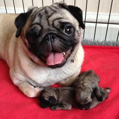 Its Tuesday Hug A Pug cute animals and pets Cute Funny Animals, Cute Baby Animals, Cute Baby Pugs, Animals Dog, Sweet Dogs, Cute Dogs And Puppies, Terrier Puppies, Bulldog Puppies, Doggies