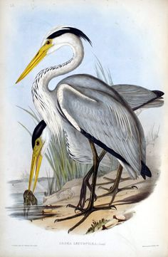 john gould bird illustrator -