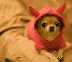I want to squeeze this cute chihuahua!