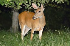 Tired of deer eating your plants and spending money on expensive fixes that don't work? Here's how to keep deer out of your garden cheaply and permanently. Deer Resistant Landscaping, Deer Resistant Garden, Deer Resistant Perennials, Deer Garden, Garden Arbor, Garden Fencing, Garden Landscaping, Homemade Deer Repellant, Deer Fence