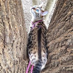 """Who are you?"" said Yuki 🐱 「誰がそこにいるの〜?」by Yuki  #かくれんぼ #鬼ごっこ #捕まえられない  #今日のゆき2017年 #todaysyuki2017  #愛猫 #スノーベンガルゆき #ベンガル #ベンガル猫 #猫 #ねこ #にゃんこ #にゃんすたぐらむ #ブルーアイ #豹猫 #綺麗  #mycat #bengalyuki #snowbengal #bengal #bengalcat #cat #catsofinstagram #catlover #ilovemycat #beautiful #blueeyes #ig_bengals #catstocker"