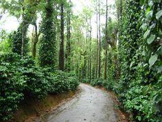 Coorg, India. Devika's coffee plantation