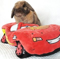 Let's throw this baby in reverse and get back to Friday Pawtners Tagged  #car #cars #fast #turnbacktime #weekend #lighteningmcqueen #racecar #red #wish #instacute #instagood #igdaily #bunny #rabbits #cutepets #cute #photooftheday #reverse #weekendisover #backup #instadaily #igphoto #igpets #instaanimal #socute #hollandlop #lopears #bunnygram #bunniesworldwide #modeays by riggsthehollandlop