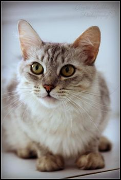 Anastasia is available for adoption from Last Hope Cat Kingdom in Atwater, California.