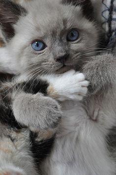 sweet ragdoll kittie