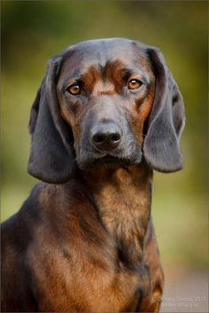 Bavarian Mountain Hound - what a beautiful breed Big Dogs, I Love Dogs, Cute Dogs, Dogs And Puppies, Doggies, Beautiful Dogs, Animals Beautiful, Cute Animals, Hound Dog