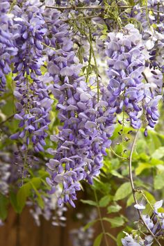 Here are a few spectacular wisteria varieties from which to choose, each with huge, cascading flower clusters. Cascading Flowers, Purple Flowers, Spring Flowers, Fast Growing Vines, Trellis Fence, Monrovia Plants, Clematis Vine, Plant Catalogs, Sun And Water