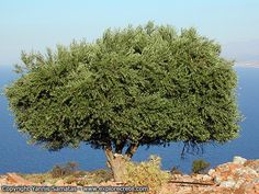 Olive Tree: Symbol of Peace and Healing | About Islam