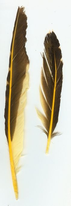 Goldfinch Feathers