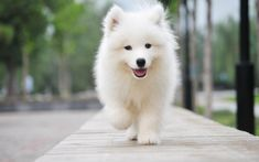 Sweet baby samoyed out for a stroll*