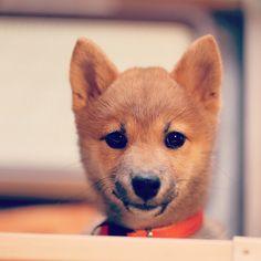 Shiba shibainu puppy