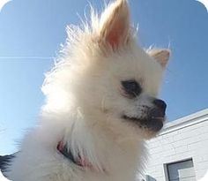 Pictures of Fuzzy McFuzz a Pomeranian for adoption in St.Ann, MO who needs a loving home.