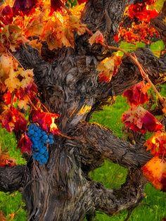 Autumn Harvest, Napa