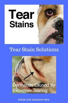 Chronic Ear infections and tear stains? NO help from the Vet!  http://bulldogvitamins.blogspot.com/2014/04/ear-infections-and-tear-stains-get-rid.html