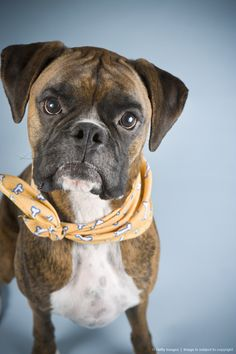 Boxer dog with Yellow Handkerchief