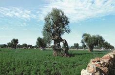 Entre Adriatique et Mer Ionienne, les oliviers des Pouilles