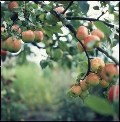 I miss the apple orchards