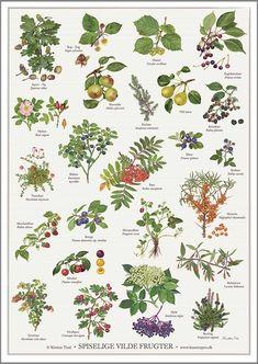 Edible Fruits and Berries, illustrated by artist Kirsten Tind of Koustrup & Co. Botanical Drawings, Botanical Prints, Foeniculum Vulgare, Illustration Blume, Home Grown Vegetables, Pyrus, Plant Identification, Veg Garden, Plantar