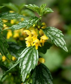 Flowering Ground Covers: Yellow Archangel, Variegated Leaves, Perennial, Looking for a low maintenance yard, yellow archangel is for you.
