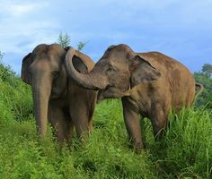 """Asian elephants (Elephas maximus) reassure others in distress """" Contact directed by uninvolved bystanders toward others in distress, often termed consolation, is uncommon in the animal kingdom, thus. Elephant Camp, Elephant Family, Asian Elephant, Baby Elephant, Group Of Elephants, Circus Elephants, Ringling Bros Circus, Elephas Maximus, Indian Man"""