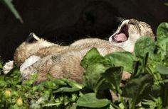 A newborn lion cub yawns