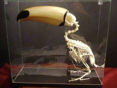 こんな鳥がこの世に存在するなんて...「オオハシ」の骨格が普通じゃないと注目を集める - グノシー