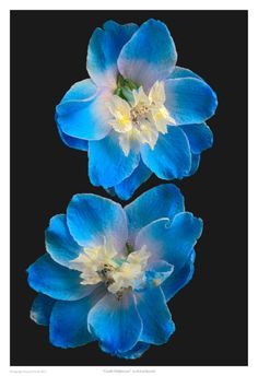 Art Print: Candle Delphinium Wall Art by Richard Reynolds : All Flowers, Flowers Nature, Amazing Flowers, Beautiful Flowers, Colorful Flowers, Bestie Tattoo, Alpine Plants, Landscaping Plants, Flower Pictures