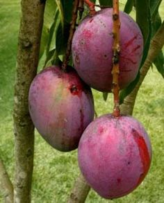 mango tree heavy with fruit.Merritt Island has many mango groves with roadside stands! Mango Fruit, Mango Tree, Fruit And Veg, Fruits And Veggies, Fresh Fruit, Vegetables, Fruit Plants, Fruit Garden, Fruit Trees