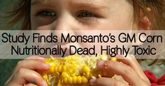 Study Finds Monsanto's GM Corn Nutritionally Dead, Highly Toxic - Healthy Holistic Living