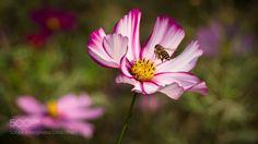 格桑花和蜜蜂 by lijq