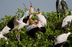 """A Botswana Birding Safari : The Kanana Heronry, """"One of the most important breeding sites in Southern Africa"""" The Kanana Heronry lies in the central region of the Okavango Delta, within the wider floodplains which form the headwaters of the Xudum River and forms part of Ker & Downey Botswana's private Kanana concession making it a great Botswana Birding safari."""