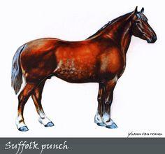 Suffolk punch