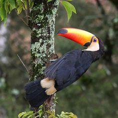 toco toucan (by claudio marcio)… Tropical Birds, Exotic Birds, Pretty Birds, Beautiful Birds, Cute Baby Animals, Animals And Pets, Toco Toucan, Rainforest Animals, Cockatoo