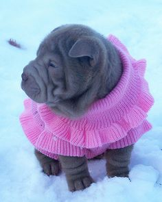 awwwwww..Chinese Shar pei pup ready to play.