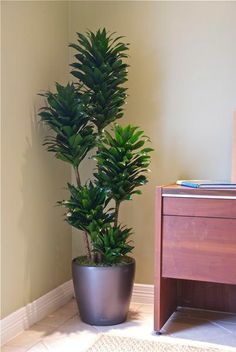 Janet Craig Compacta - Houston Interior Plants