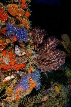 Blue bulb corals