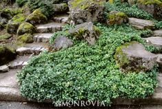 Green Sheen Japanese Spurge (Pachysandra terminalis 'Green Sheen') - Monrovia under the deck