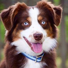 Ruckus the Australian shepherd with blue eyes. Blue Eton Collar. Eco Friendly. Harry Barker. #aussie