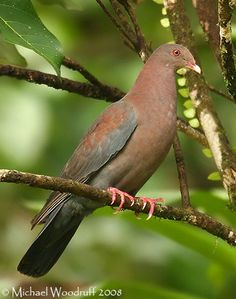Red-billed Pigeon - Species Information and Photos