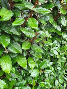 7 mooiste Haagplanten - KleineTuinen.nl Prunus, Plant Leaves, Herbs, Ideas, Herb, Peach, Thoughts, Medicinal Plants