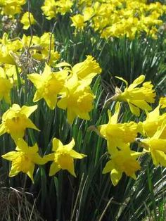 Daffodils grow best in full sun Narcissus Plant, Phlox Plant, Spring Months, Spring Time, Daffodils Planting, First Flowers Of Spring, Hummingbird Plants, Wholesale Nursery, Dug Up